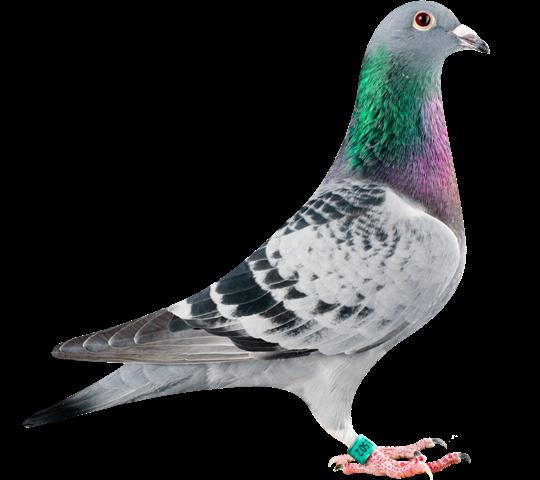 GB13-28502_pigeon