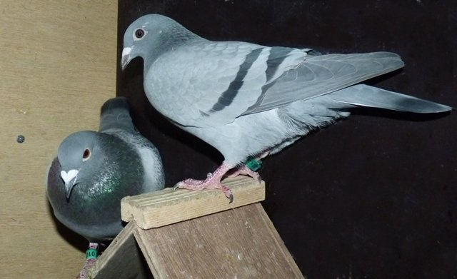 A good couple, 'Lasse' x 'Jacky', which I put together at the beginning of March. For 'Jacky', these will be her first eggs, because she is a summer young of 2013. I will explain how I try to breed a certain type of pigeon for specific one-loft races. The coupling is specifically formed for the one-loft race in Denmark and maybe for the Belgian Master next year. The cock, on the left side of the photograph, is the 'Lasse'. His nest mate flew a 1st last season in the very difficult finale of the Danish one-loft race with about 900 meters per minute. 'Lasse' and his nest mate are from a cock, who himself won a 1st alone in the lead during the finale of the same race in 2011... Coincidence? I don't believe so. 'Jacky', left in the photograph, comes out of a crossing with K de J & Son. The father is the 10, a fantastic breeder who also produced a 1st NPO winner in a 700km+ race. The mother is my own 26, a full sister of the 1st ace pigeon Belgian Master 2011 who, for that matter, also won a 3rd prize. Extraordinary is that, when the hen sits on her perch at night, the cock comes to her and sits on the sloping side of the perch. He stays there all night without intruding on the hen. When I do my last round and see them like that, they touch my heart. In short, on paper a very promising coupling. All I can do now is hope that the basket will agree, because the basket always has the last word...