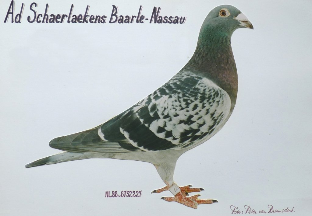 This type of pigeons propelled Ad Schaerlaeckens to international fame and gave him during these years the nickname 'Mr. Orleans'...