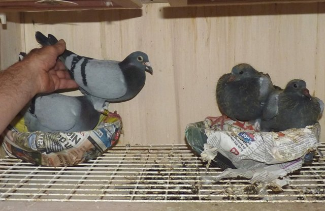 Beautiful young pigeons. This is by now the 6th breeding round of 2014 that is raised by the 'Limo' himself.