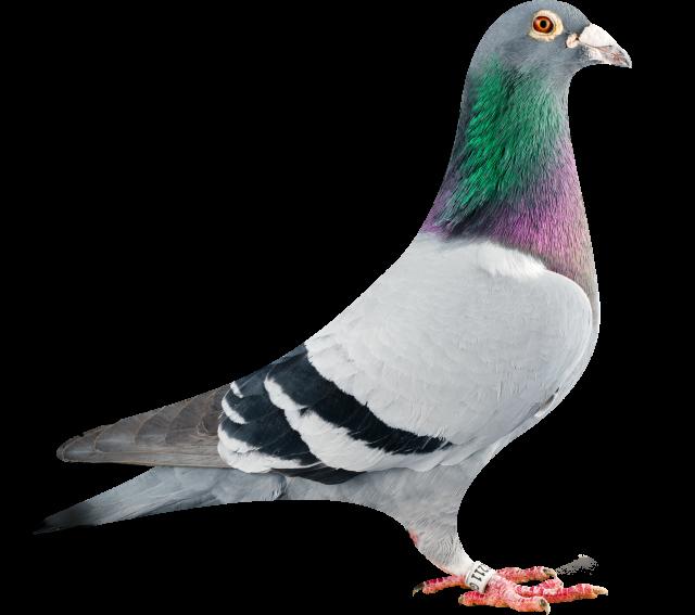 GB07-02211_pigeon