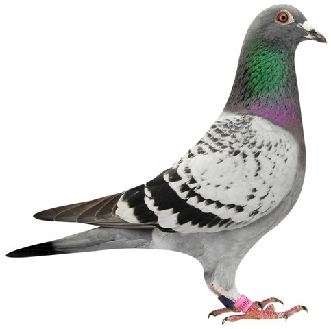 The 'F16' was a direct son of 'Fleur' and was the best young pigeon of Belgium in 3 national races...