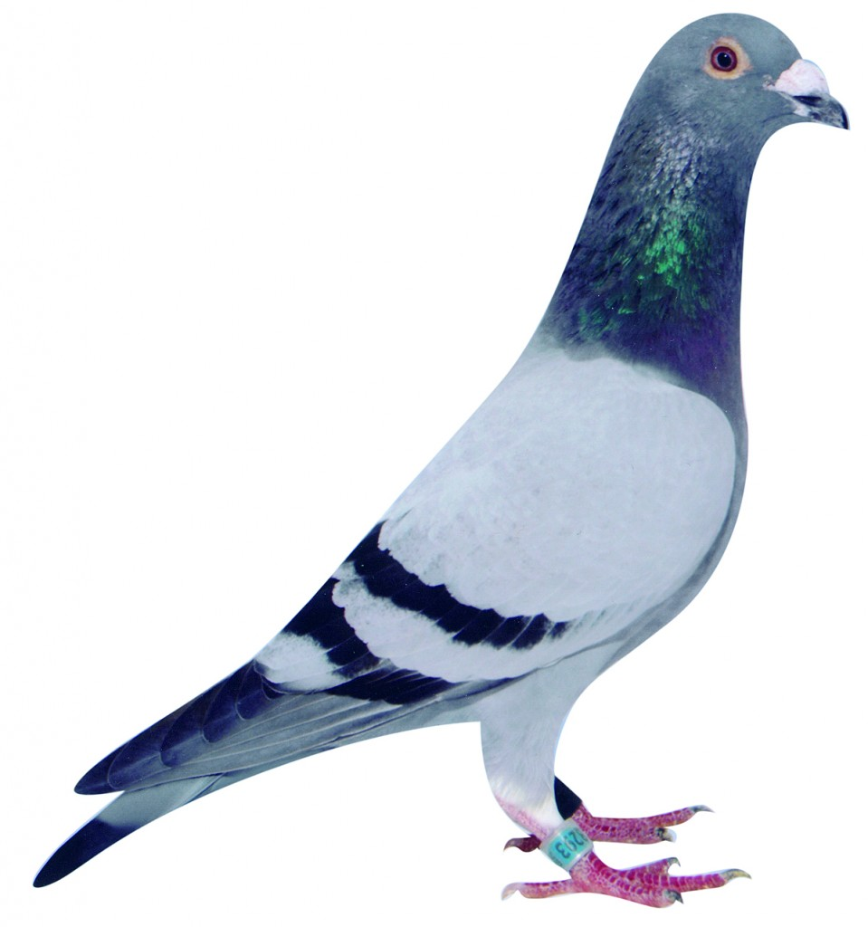 The 'Luuszak' 3028293-02 3rd National Ace pigeon Extra Long-distance for Luc and Gerard Sioen in 2005. He won then 23rd national Pau against 2,212 pigeons and 26th national Perpignan against 7,611 pigeons. He got his not very flattering name because he was such a shy bird...