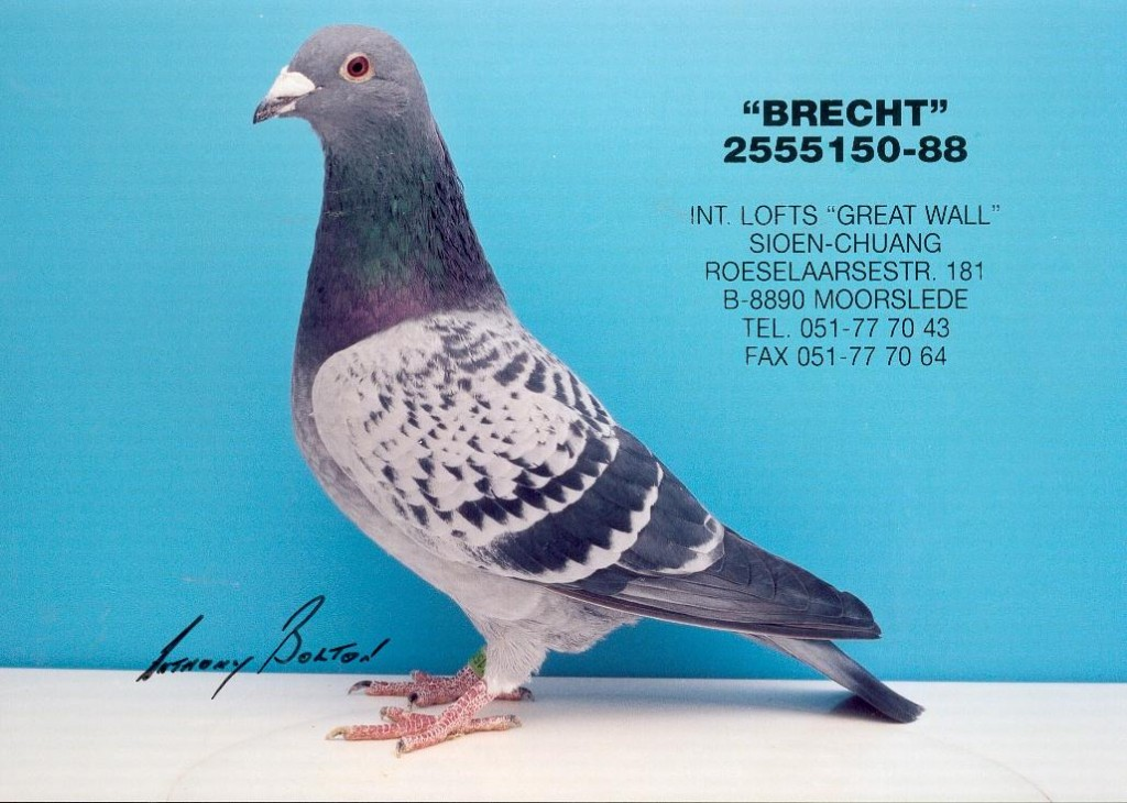 The wondrous 'Brecht' 2555150-88 from Remi Hoebrechts (Hoeleden) The 'Brecht' became 1st national Ace pigeon 1992 extra long-distance with 25th national Barcelona and 29th national Perpignan. That same year he also became 4th semi-national Brive. Hoebrechts bred him out of the Gesteken Verbruggen (father 1st national Argenton) x the Gouden kweekduivin. Purchased by Luc Sioen and Deng Fu Chuang and became a stock breeder there...