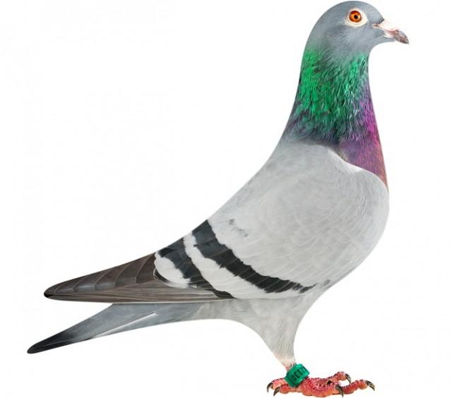 GB13-J42130_pigeon