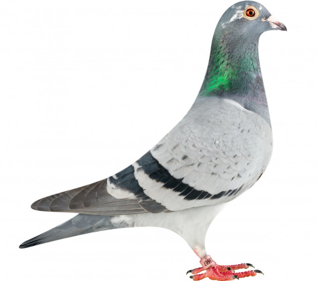 GB14-V39667_pigeon