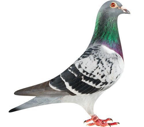 BE13-6120504_pigeon