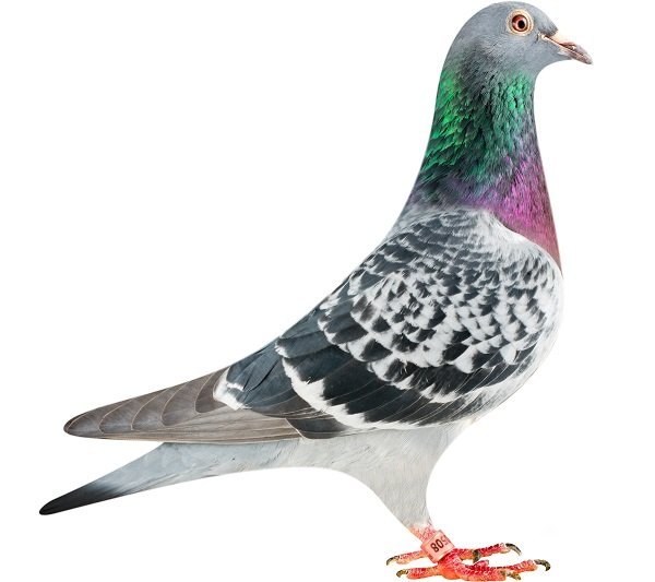 BE13-6120508_pigeon
