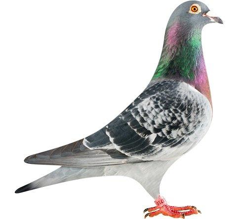 BE13-6314710_pigeon