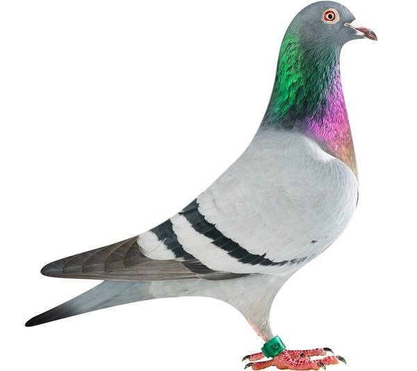 NL13-1395475_pigeon
