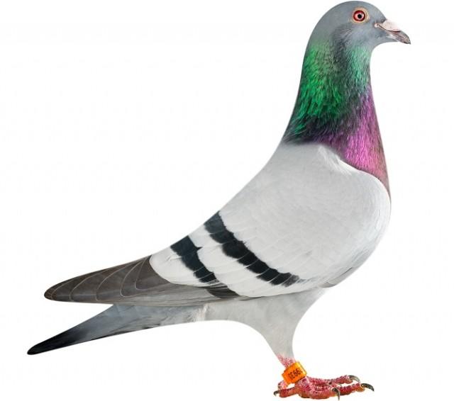 NL14-1209933_pigeon